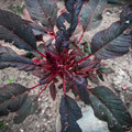 003206-red-plant
