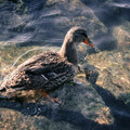 005208-duck-on-rocks