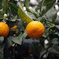 008609-clementines-tree