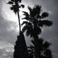 008909-palm-trees2