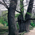 010109-trees-in-madrid-botanic-gardens