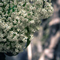 011109-white-flowers-in-madrid-botanic-gardens2