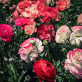 022109-colorful-roses