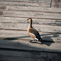 031509-a-duck-on-dock