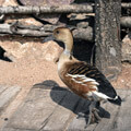 031609-a-duck-on-dock2