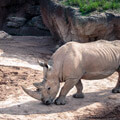 032209-walking-rhino