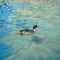 037509-swimming-duck