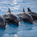 039109-four-dolphins