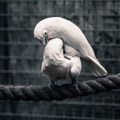 049010-kissing-white-parrots