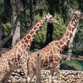 051010-two-giraffes