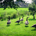 067511-Geese-in-giethoorn