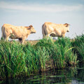 068011-cows-in-giethoorn