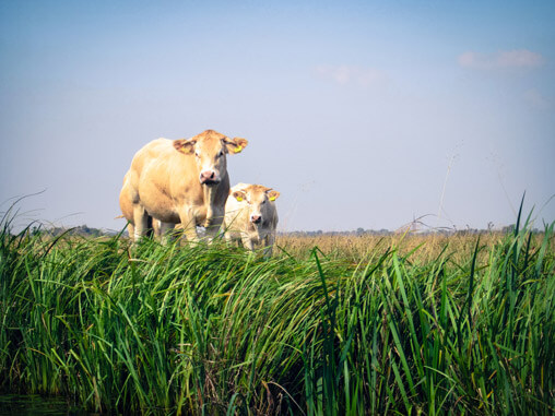 068211-cows-in-giethoorn3