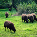 068411-sheep-in-giethoorn