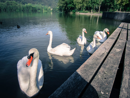 069311-swans-in-france