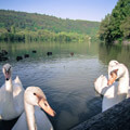 069411-swans-in-france2