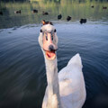 069511-angry-swan-in-france